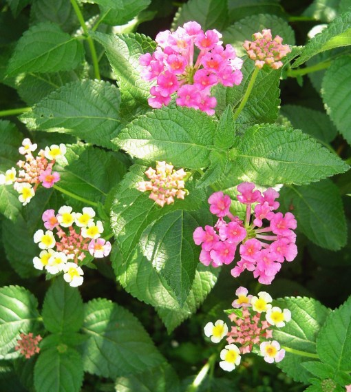 "Bandana ""Cherry Sunrise"" Lantana"