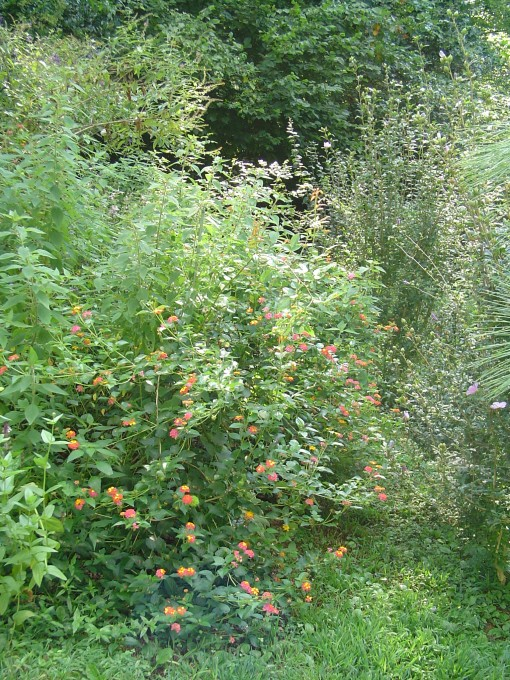 Lantana in the butterfly garden get regular trimming back, and still fill the path.