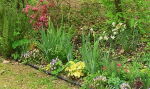 Violas border a bed with Iris, Heuchera, Columbine