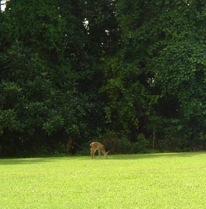 Deer living in the National Park easily travel through ours, and many other neighborhoods.