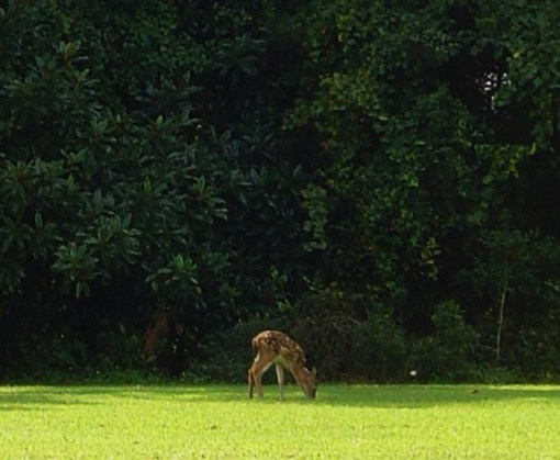 A fawn in August, grazing along the Colonial Parkway