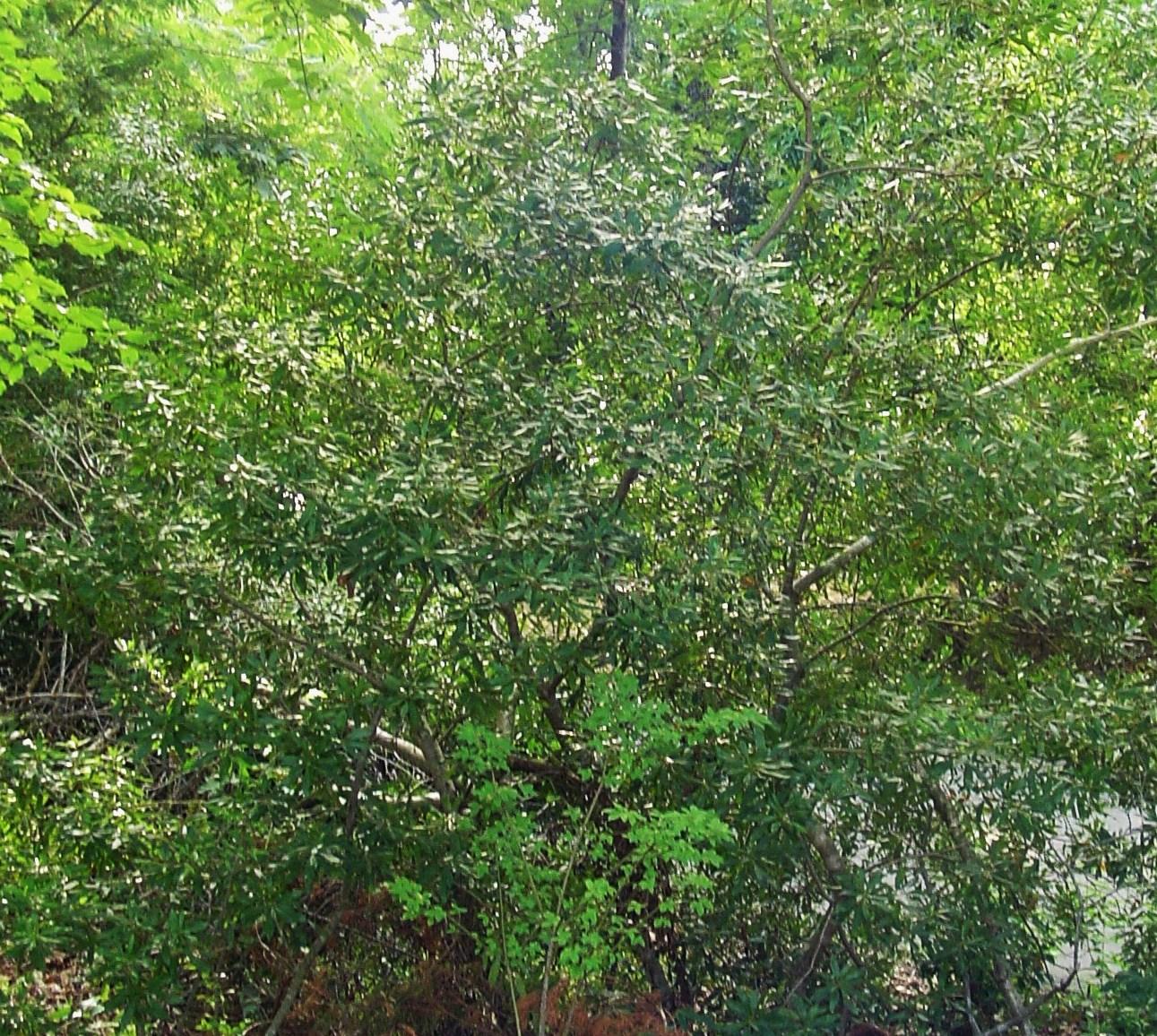 Southern wax myrtle forest garden for Garden shrubs