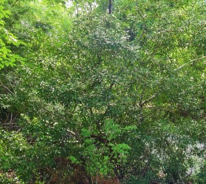 Southern Wax Myrtle grows as a large shrub or small tree, and grows thickly enough to make a good screen.