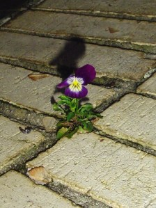 A seedling Viola, growing from a seed dropped in early spring.