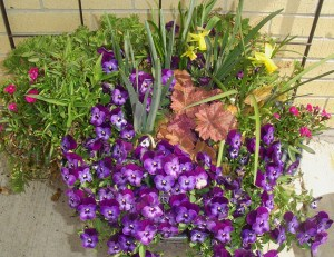 Violas in late March with Heuchera, Daffodils, and Dianthus.