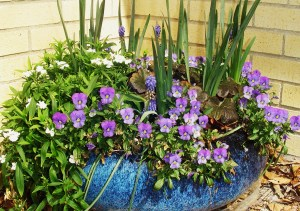 Violas with white Dianthus, and Muscari.  Miniature Daffodils bloomed later in the season.