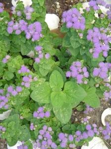 Violet Ageratum