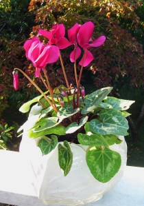 Discarded from the kitchen windowsill in June, this Cyclamen is blooming once more out on the deck.