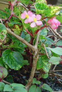 A tiny begonia cutting, stuck into this basket of Fuschia, is finally blooming.