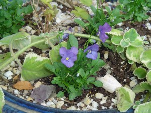Tiny starts of Viola and Heuchera just tucked into a pot.