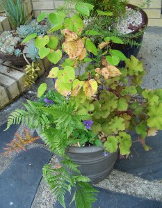 A tiny Redbud tree planted with Autumn Brilliance fern, Heuchera, and Violas to give interest all winter and into the spring.  Bulbs planted under the perennials will bloom after the Redbud's flowers have finished next April.