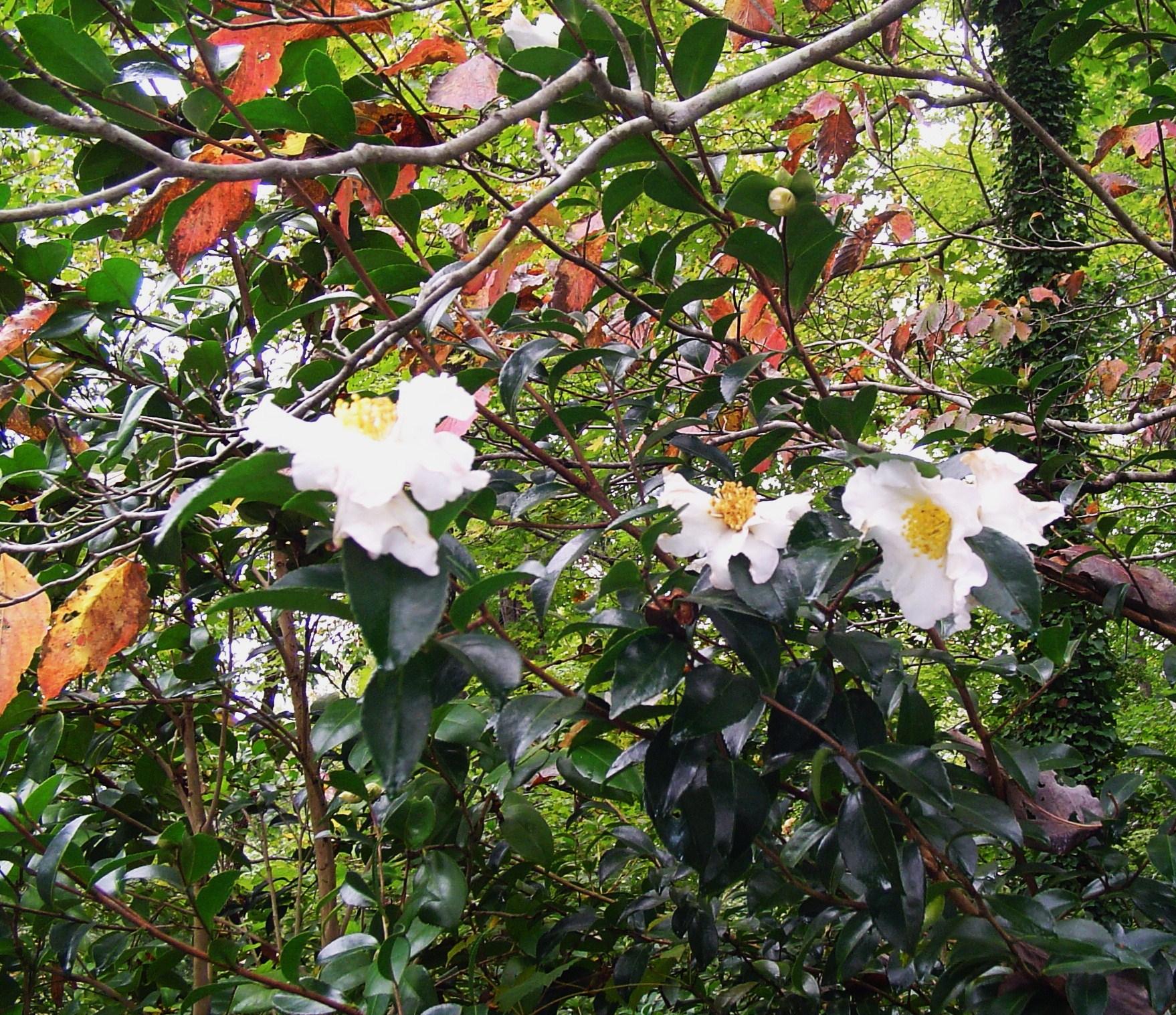 Camellias forest garden for Camellia sasanqua