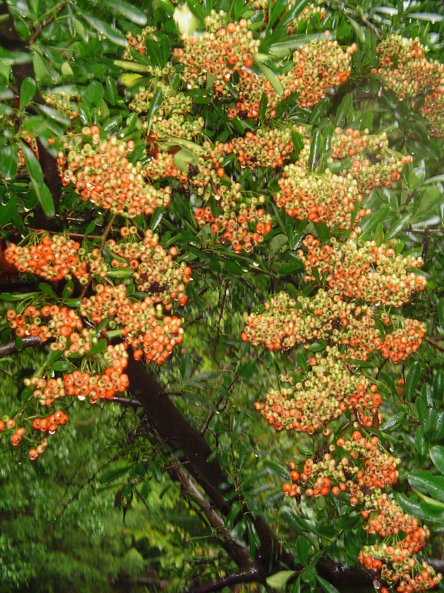 Pyracantha Forest Garden