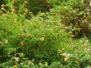Lantana is still blooming