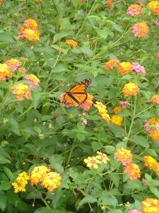 October 17 2013 monarch bf 001