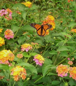 This Monarch spent the entire day feasting on Lantana nectar in our garden.