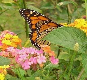 October 17 2013 monarch bf 003
