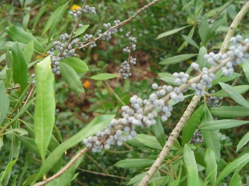 Myrica cerifera produces beautiful blue berries along its branches each autumn.