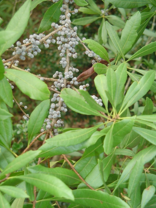 Evergreen Wax Myrtle provides dense cover as well as fall berries loved by many species of birds.