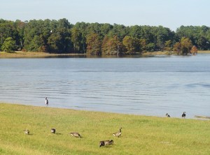 Great blue heron, gulls, and Canadian Geese enjoy their afternoon by the creek near Jamestown Island.