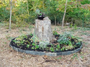 The stump garden, with newly planted Iris, Violas, chives, and Geranium cuttings.