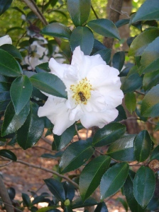 """A tiny bee uses a Camellia as a """"bed and breakfast"""" inn."""