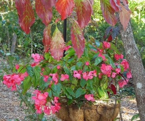 Dragon Wing Begonias love these cool bright days.