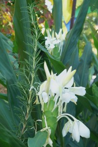 The Ginger lilies are covered in bloom.