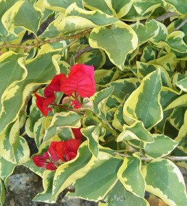 The Bougainvillea has only been blooming a few weeks.  I hope it can stay outside a few weeks longer in a sheltered spot.