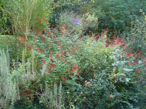 PIneapple Sage, Pineapple Mint, Rosemary, and Lantana at their peak in late October.