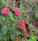Lantana and Pineapple Sage