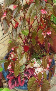 This pot was spectacular all summer with its red Begonia Rex and a red leaved cane Begonia.  Both need to come inside now that night time temperatures dip into the 40s.
