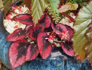 "Begonia Rex, purchased in a 1"" pot in April has grown beautifully in this protected pot on the patio."