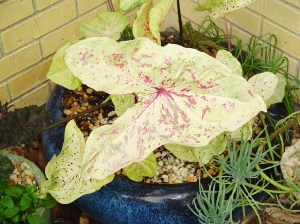 Caladiums beginning to look faded at the end of their season outside.
