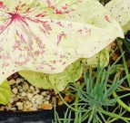 Caladium and blue chalk sticks