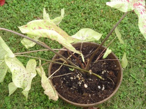 Settle the roots of each caladium into the pot, spacing them a few inches apart.
