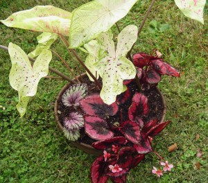 """Transplanted Caladiums and Begonias now share this 14"""" shallow pot.  They will live in our living room this winter.  The Caladiums will die back, but will send out fresh leaves in early spring.  They can remain together or get divided up and replanted outside when spring 2014 is settled and warm."""