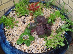 A Heuchera anchors the newly planted Panola and several Violas.  Grape Hyacinth and miniature Daffodils will fill the pot out in spring.