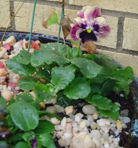 October 26 potting 024