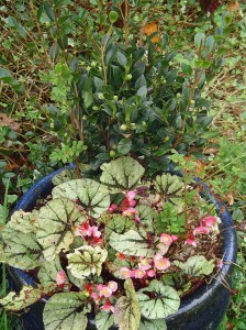 A Begonia Rex remains in the pot with the new Camellia, now protected with cuttings  of scented geranium.