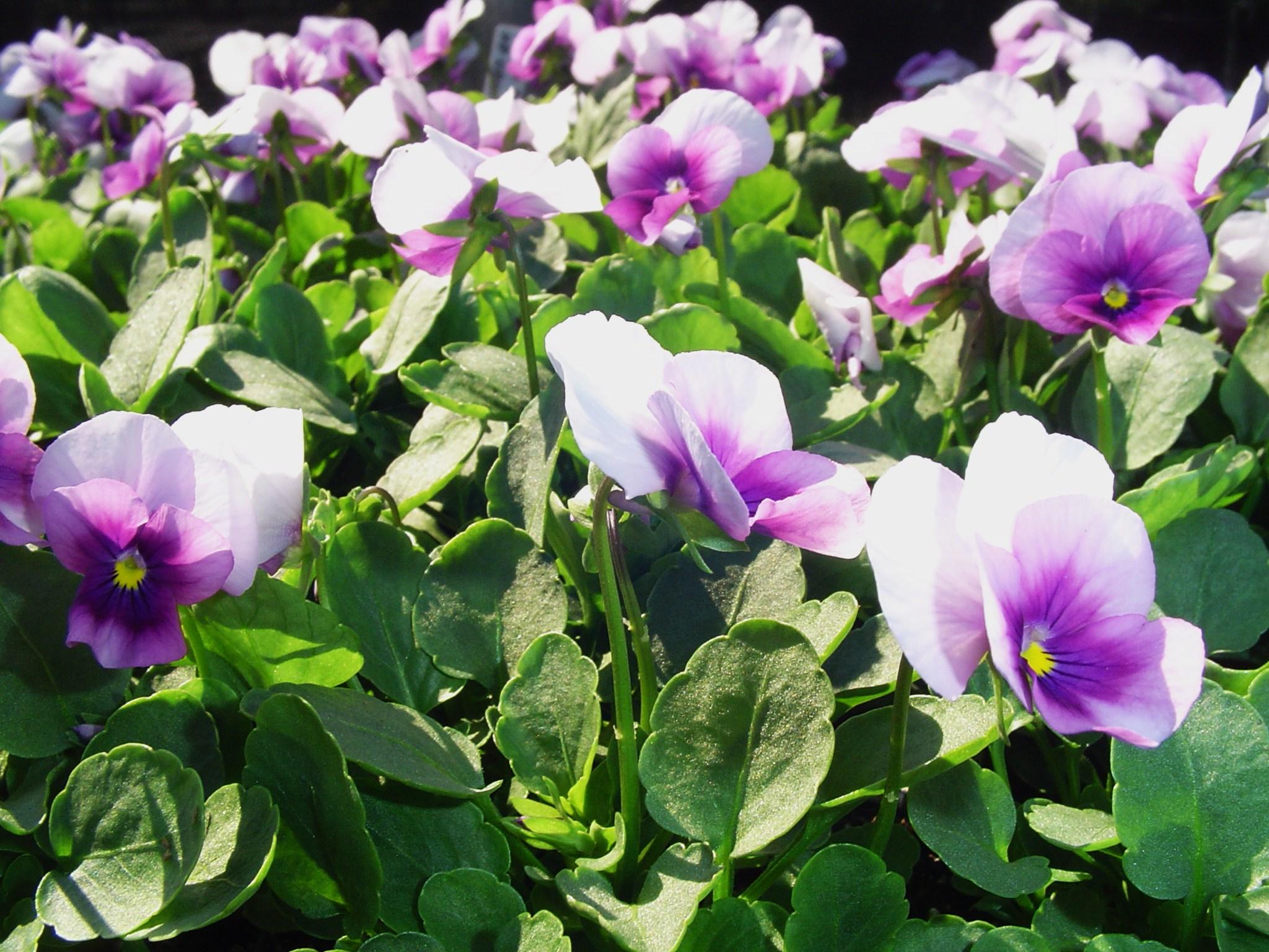 Violas for winter blooms forest garden violas for winter blooms october 4 shopping 016 izmirmasajfo