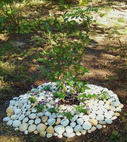 A newly planted Camellia in 2011 has extra protection against the squirrels from large shells over the mounded compost.