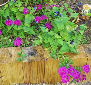Violet Verbena with blue and black Sage