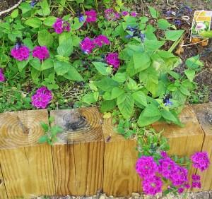 Violet Verbena with blue and black Sage