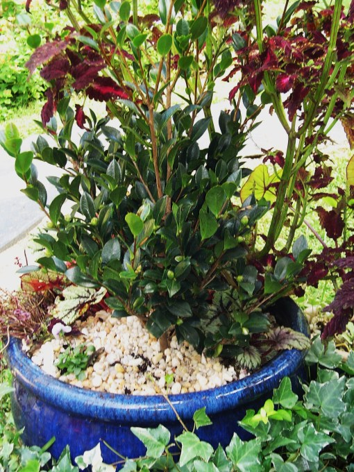 """Newly planted C. """"Yuletide"""" will bloom in this pot near the front of the house in December. It can grow on here for a year or two, and then go out into the garden in partial shade."""