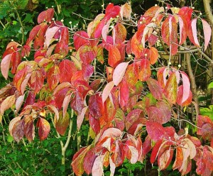 Red Dogwood leaves