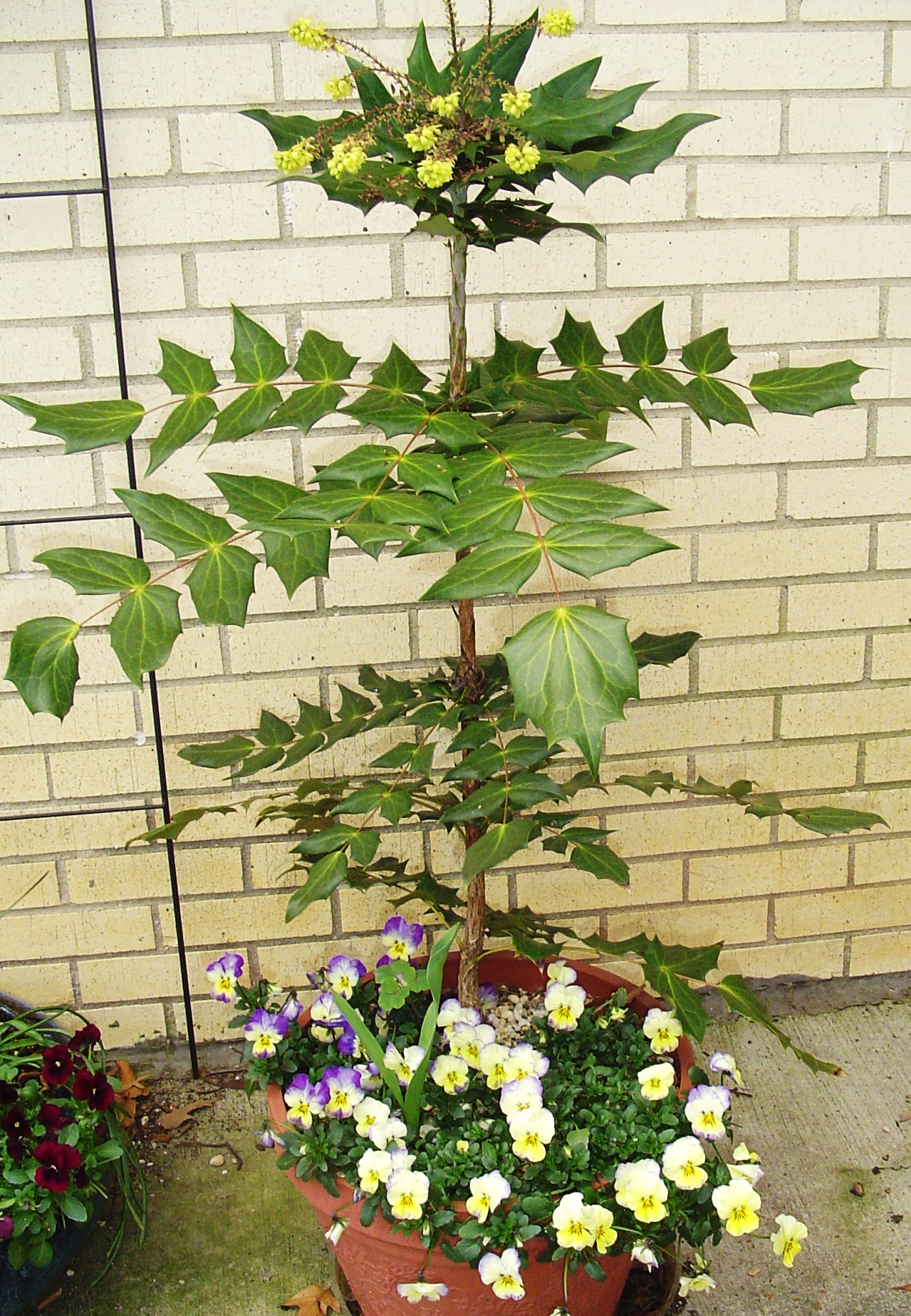 Potted Mahonia blooming on the patio.