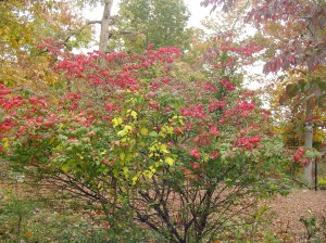 This photo of our burning bush was taken November 2, when it was beginning to color for the season.