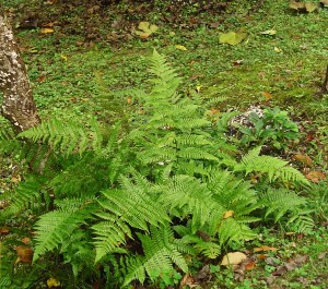 Autumn  fern and Hellebores will both remain green through winter.