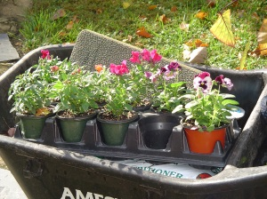 Snapdragons from Homestead Garden Center, grown by the Patton family, moved into their new bed on Saturday morning.